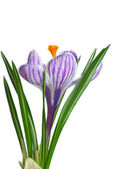 Single stripy crocus — Stock Photo