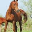 Beautiful arabian horse running trot on pasture — Stock Photo