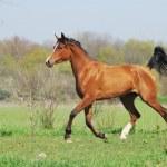 Beautiful arabian horse running trot on pasture — Stock Photo