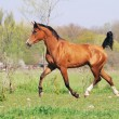 Beautiful arabian horse running trot on pasture - Stock Photo