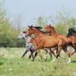 Herd of arabian horses running on pasture - Stock Photo