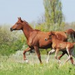 Beautiful arabian mare and foal running on pasture - Stock Photo