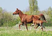 Beautiful arabian mare and foal running on pasture — Stock Photo