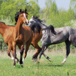 Herd of arabian horses playing on pasture - Stock Photo