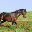 Stock Photo: Beautiful brown horse running trot on pasture