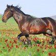 Beautiful brown horse running trot on pasture — Stock Photo