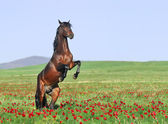 Beautiful brown horse rearing on pasture — Stock Photo