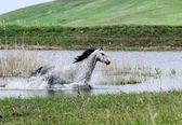 Cheval gris en cours d'exécution dans l'eau — Photo