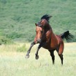 Beautiful brown arabian horse playing on pasture — Stock Photo #3759597