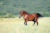 Beautiful brown arabian horse running trot on pasture — Stock Photo