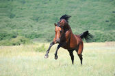 Beautiful brown arabian horse playing on pasture — Stock Photo