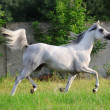 Stock Photo: Gray arabihorse running trot on pasture