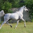 Gray arabian horse running trot on pasture - Stock Photo