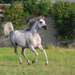 Stock Photo: Gray arabihorse running gallop on pasture
