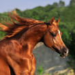 Stock Photo: Portrait of chestnut arabian horse in motion