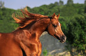 Portrait of chestnut arabian horse in motion — Stock Photo