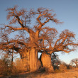 Stock Photo: Boabab tree in Botswana
