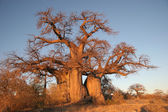 Boabab tree in Botswana — Stock Photo