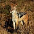 Blackbacked Jackal - Stock Photo