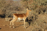 Africa Wildlife: Impala — Foto de Stock