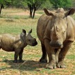 Africa Big Five: White Rhinoceros - Stock Photo