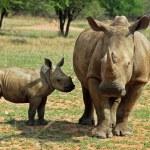 Africa Big Five: White Rhinoceros — Stock Photo #3223709