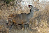 羚羚羊 — 图库照片