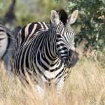 Burchell's Zebra in Africa — Stock Photo #3316321