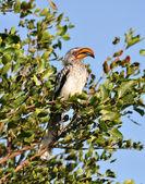 Southern Yellowbilled Hornbill — Stock Photo