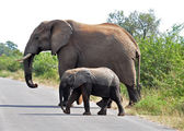 African Elephant and calf — Stock Photo