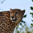 Wildlife in Africa: Cheetah - Stock Photo