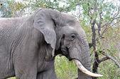 African Elephant — Fotografia Stock