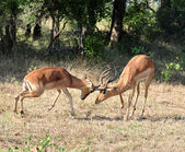 Africa Wildlife: Impala fight — Stock Photo