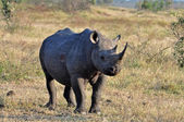 Africa Big Five: Black Rhinoceros — Stock Photo