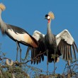 Crowned cranes — Stock Photo #2710557