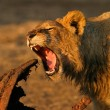 Feeding African lion — Stockfoto