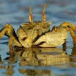 Ghost crab — Stock Photo #2710582