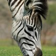 Stock Photo: Grazing Zebra