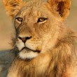 Young African lion — Stock Photo