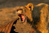 Feeding African lion — Stock Photo