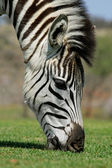 Grazing Zebra — Stock Photo