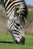 Grazing Zebra — Stock Photo