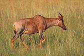 Tsessebe antelope — Stock Photo