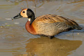 White-faced duck — Stock Photo