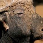 African buffalo portrait — Stock Photo
