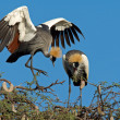 Stock Photo: Crowned cranes