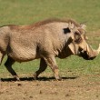 Male warthog — Stock Photo
