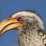 Yellow-billed hornbill — Stock Photo