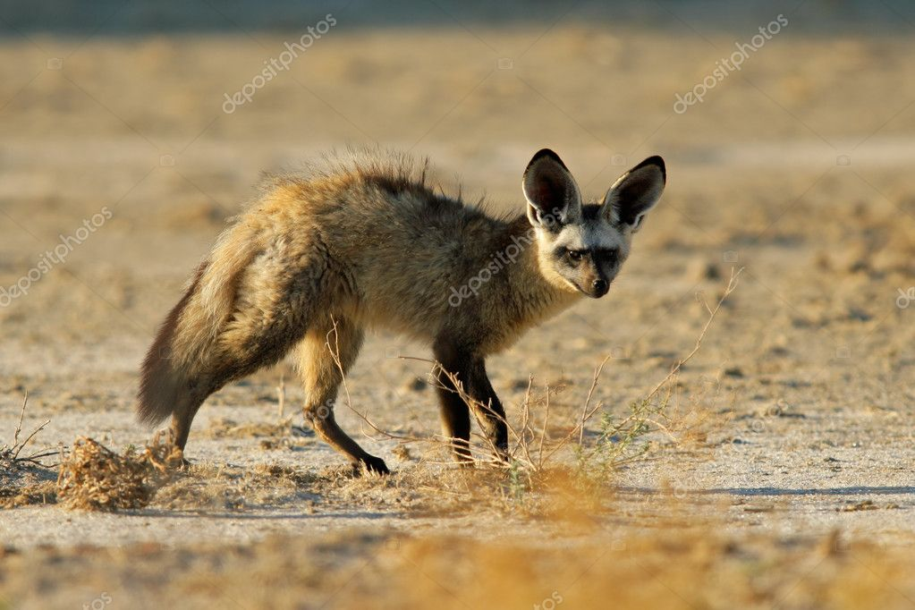 Bat-eared fox (Otocyon megalotis), Kalahari desert, South Africa — Stock Photo #2734945