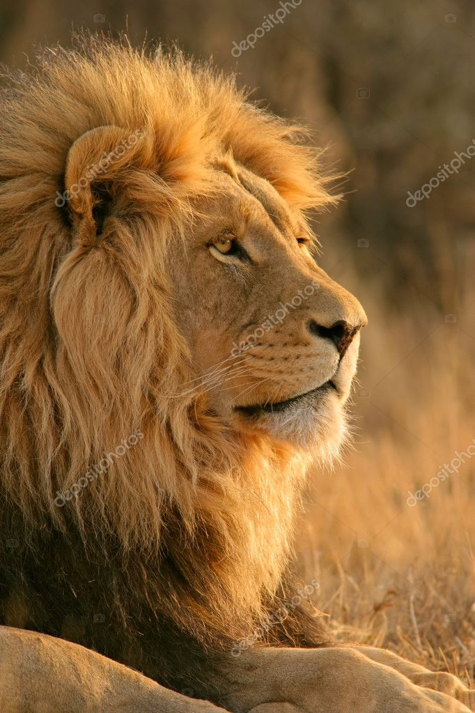Portrait of a big male African lion (Panthera leo), South Africa — Stock Photo #2734949